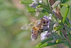 Пчела на розмариновом масле Стоковое фото RF