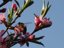 Пчела на розовой миндалине цветка кустарника стоковое изображение rf