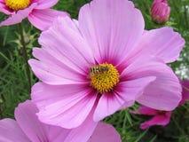 Пчела на розовом цветке Стоковое Фото