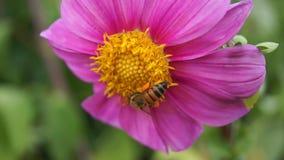 Пчела на розовых цветках сток-видео