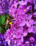 Пчела на сирени Стоковое Фото