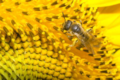 Пчела на солнцецвете Стоковые Фотографии RF