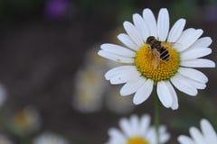 Пчела на стоцвете Стоковое фото RF