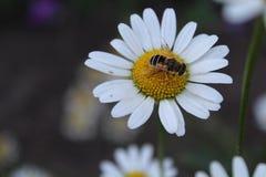Пчела на стоцвете Стоковые Фото