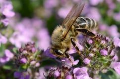 Пчела на тимиане Стоковые Изображения