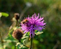 Пчела на фиолетовом цветке на луге Стоковая Фотография RF