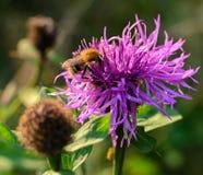Пчела на фиолетовом цветке на луге Стоковые Фото
