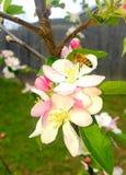 Пчела на цветениях яблони Стоковая Фотография