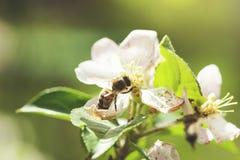 Пчела на цветках в дереве стоковая фотография