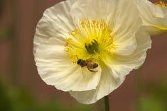 Пчела на цветке белого мака с желтым центром Стоковое Фото