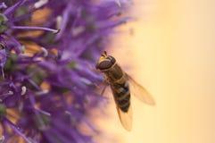 Пчела на цветке, близкое фото стоковые изображения rf