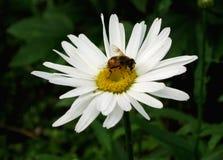 Пчела на цветке маргаритки Стоковая Фотография
