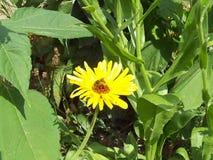 Пчела на цветке ноготк видеоматериал