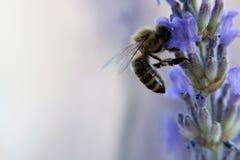 Пчела на цветке lavander Стоковая Фотография RF