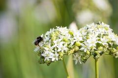 Пчела на blossoming аллювии в поле стоковое фото