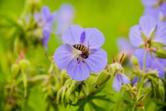 Пчела на blossoming cranesbill луга стоковые изображения rf