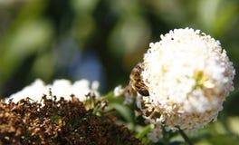 Пчела на buddleja Стоковая Фотография RF