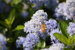 Пчела на ceanothus стоковые изображения rf