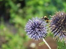 Пчела на spiky смотря цветке Стоковое Фото