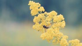 Пчела опыляет желтый цветок сток-видео
