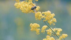 Пчела опыляет желтый цветок видеоматериал