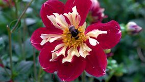 Пчела опыляет красный георгин в саде на острове Mainau в Германии акции видеоматериалы