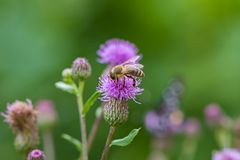 Пчела опыляет розовый thistle цветка Стоковое Изображение RF