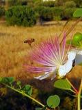 Пчела опыляя сочный цветок на мухе Стоковое фото RF
