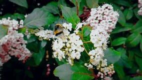 Пчела, оса, шершень на цветке, муха в замедленном движении, взгляде конца-вверх, для опыляет цветки, весну приходит, природа видеоматериал