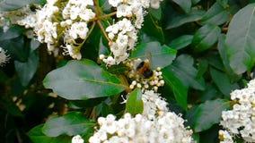 Пчела, оса, шершень на цветке, муха в замедленном движении, взгляде конца-вверх, для опыляет цветки, весну приходит, природа акции видеоматериалы
