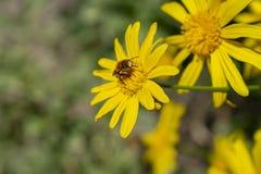 Пчела отдыхая на желтой маргаритке на солнечный весенний день стоковое фото rf