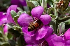 Пчела похороненная в пурпурном мудром цветке стоковое фото rf
