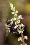 пчела путает опылять стоковое фото rf