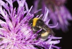 пчела путает опыляя thistle Стоковые Фотографии RF