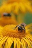пчела путает собирающ нектар Стоковое Фото