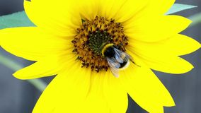 пчела путает солнцецвет Опыление цветков видеоматериал
