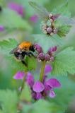 пчела путает цветковое растение Стоковая Фотография RF