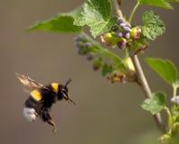 пчела путает цветок летая к Стоковые Изображения