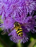 пчела путает цветок летая к Стоковые Фото