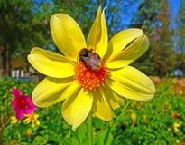 пчела путает цветок сидит Стоковое Изображение