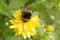 пчела путает Стоковые Изображения
