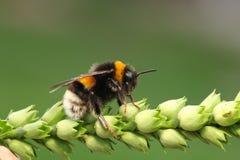 пчела путает Стоковое Изображение