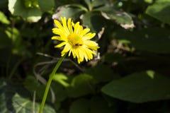 Пчела сидит на желтом цветке в полдень стоковые изображения rf