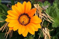 Пчела сидит на цветене одиночном большом желтом цветке Gazania или сокровища полностью, rigens Gazania стоковая фотография