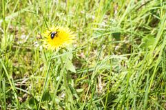Пчела сидит на цветке одуванчика на зеленом луге на день лета солнечный Конец-вверх, селективный фокус стоковое фото rf