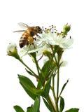 Пчела сидя на белом цветке изолированном на белизне Стоковые Фотографии RF