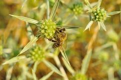 Пчела собирает мед Стоковое Изображение RF