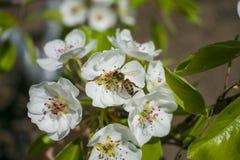 Пчела собирает нектар на цветя дереве стоковое фото