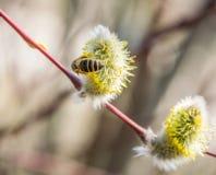 Пчела собирает нектар от вербы на яркий солнечный весенний день стоковая фотография rf