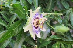 Пчела собирает нектар от фиолетового цветеня цветка страсти полностью стоковая фотография